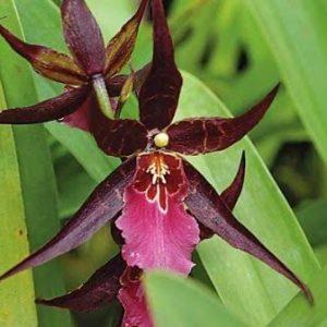 Orquídea Degarmoara