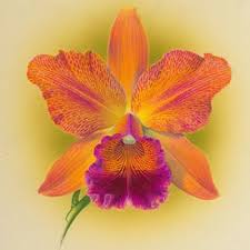 Orquídea Catlleya
