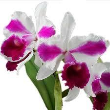 Orquídea Clow