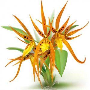 Orquídea Brassada